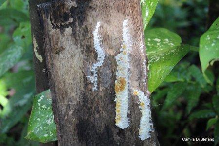 balinese honey