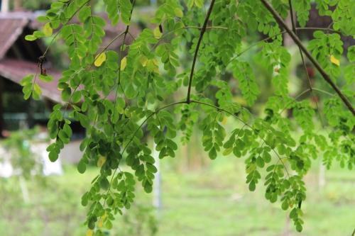 Moringa The Tree of Life