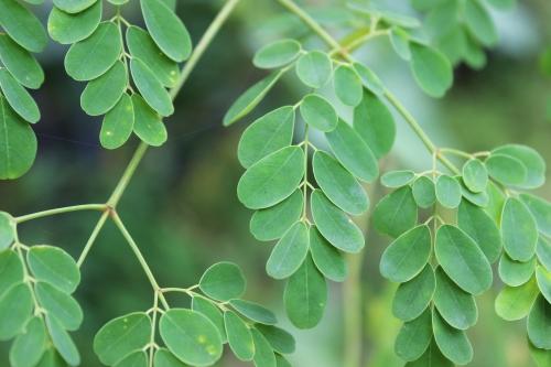 Moriinga leaves